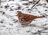 "<div class=""jaDesc""> <h4>Fox Sparrow Exploring in Snow - February 26, 2017</h4> <p>A family of four Fox Sparrows arrived while it was snowing this morning.  This one was hopping and scratching in the snow looking for seeds.</p> </div>"