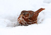 """<div class=""""jaDesc""""> <h4> Fox Sparrow in Snow - 1st of Year - March 23, 2011 </h4> <p> Two Fox Sparrows showed up last week. Until this morning's snowstorm, they have been mostly hidden in dense brush. Today they were out in the open, digging under the snow to get sunflower seeds.</p> </div> </br> <center> <a href=""""http://www.youtube.com/watch?v=L5vbYlSmKII"""" class=""""lightbox""""><img src=""""http://d577165.u292.s-gohost.net/images/stories/video_thumb.jpg"""" alt=""""""""/></a> </center>"""