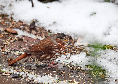 """<div class=""""jaDesc""""> <h4>Fox Sparrow Eating in Snow - October 27, 2016 </h4> <p>We had a wet snowfall overnight.  This morning a pair of Fox Sparrows stopped in to feed on the brick walkway out front.</p> </div>"""