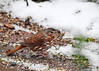 "<div class=""jaDesc""> <h4>Fox Sparrow Eating in Snow - October 27, 2016 </h4> <p>We had a wet snowfall overnight.  This morning a pair of Fox Sparrows stopped in to feed on the brick walkway out front.</p> </div>"