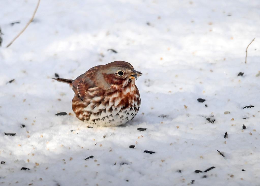 "<div class=""jaDesc""> <h4>Fox Sparrow Feeding in Snow - December 28, 2017</h4> <p>We had a lone Fox Sparrow stop by on a frigid snowy day.</p> </div>"