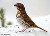 """<div class=""""jaDesc""""> <h4> Fox Sparrow in Snow - March 19, 2007 </h4> <p>This Fox Sparrow has been here for most of the winter.  It is the first time we have had Fox Sparrows before early spring.  I had just built this perch the other day before we got 6 inches of snow.</p> </div>"""