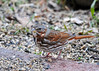 """<div class=""""jaDesc""""> <h4> Fox Sparrow Ground Feeding - March 22, 2014 - Video Attached</h4> <p>A Fox Sparrow stopped on his way through this same time last year.  It is always nice to see them for a week or so as they pass through. </p>  </div> <center> <a href=""""http://www.youtube.com/watch?v=8VT6aE2qigQ""""  style=""""color: #0000FF"""" class=""""lightbox""""><strong> Play Video</strong></a>"""