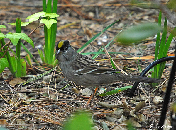 """<div class=""""jaDesc""""> <h4> Golden-crowned Sparrow Ground Feeding - November 11, 2009 </h4> <p> This Golden-crowned Sparrow is found only on the West Coast.  This one was ground feeding in my daughter's back yard.  It was a dark cloudy day.</p> </div>"""