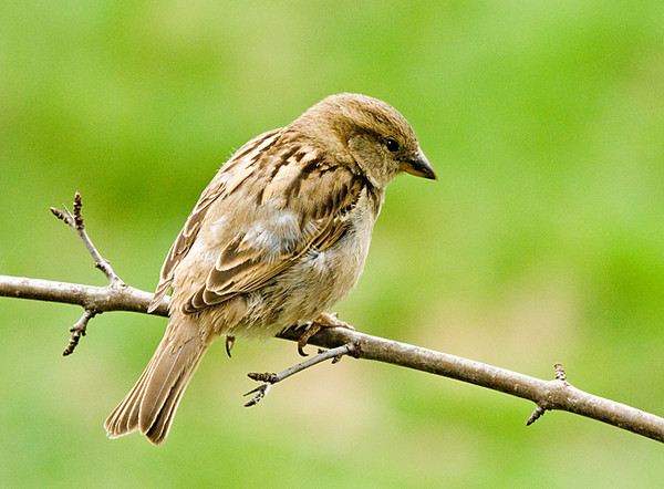 """<div class=""""jaDesc""""> <h4> Female House Sparrow - April 23 2008</h4> <p> The male House Sparrow now has a mate, this cute female.  They have selected a nest box and best I can tell have completed their nest.  They harrassed the Bluebirds and Tree Swallows incessantly while selecting their nest box.  I hope they are happy with the one they picked.</p> </div>"""