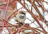"<div class=""jaDesc""> <h4> Male House Sparrow - Front View - January 1, 2018</h4> <p> This male House Sparrow had his body feathers fluffed over his claws to stay warm in the sub-zero wind chill.</p> </div>"