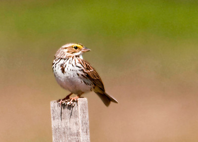 """<div class=""""jaDesc""""> <h4> Savannah Sparrow Over the Shoulder Look - April 25, 2013 </h4> <p> Even when they were not flying around, the Savannah Sparrows would track where the others were.  They seemed to be sorting out their pairing during the half hour I watched them.  Savannah Sparrows have a dark spot on their chest like Song Sparrow, but they also have yellow eyebrows which a Song Sparrow does not have.</p> </div>"""