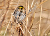 """<div class=""""jaDesc""""> <h4> Savannah Sparrow Hiding in High Grass - April 21, 2014 </h4> <p>I saw this Savannah Sparrow as I entered a grassy field at Goetchius Wetland Preserve in Caroline, NY.  He did not like me coming into his territory, so he hide down in a tall clump of grass.  I approached very slowly to an un-threatening distance to photograph him.</p> </div>"""