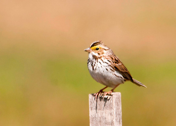 """<div class=""""jaDesc""""> <h4> Savannah Sparrow on Stake - April 25, 2013 </h4> <p> Four Savannah Sparrows were zooming around a grassy field at Goetchius Wetland Preserve in Caroline, NY.  They would take a break on a stake in the middle of the field.</p> </div>"""