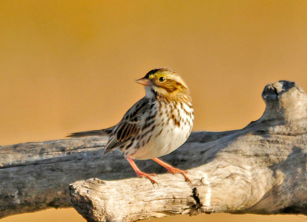"""<div class=""""jaDesc""""> <h4> Savannah Sparrow in Morning Sun - November 6, 2013 </h4> <p>Many of the sparrows that left our area weeks ago are now working their way down the eastern coastline.  This Savannah Sparrow perched nicely beside the road in Bombay Hook NWR in Delaware.  He was with a mate who was not as cooperative.</p> </div>"""