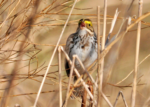 """<div class=""""jaDesc""""> <h4> Savannah Sparrow Singing - April 21, 2014 - Video Attached </h4> <p>Unfortunately his song is drowned out by the louder Red-winged Blackbird calls and the sound of Peepers in the background.  Notice in the video that he catches and eats a fly that lands within reach.</p> </div> <center> <a href=""""http://www.youtube.com/watch?v=7AXmttqivKQ""""  style=""""color: #0000FF"""" class=""""lightbox""""><strong> Play Video</strong></a>"""
