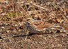 """<div class=""""jaDesc""""> <h4> Savannah Sparrow Ground Feeding - April 14, 2011 </h4> <p>  I was hiking along a road adjacent to a marsh when what I thought was a Song Sparrow flew across in front of me and began ground feeding on the shoulder of the road. When I looked through my telephoto lens, I was pleasantly surprised to see that it was a Savannah Sparrow. This sparrow is named for the city in Georgia where it was first spotted. Grassy marshes and wet meadows are its favorite feeding areas.</p> </div>"""