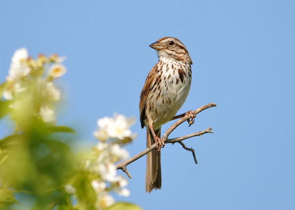 """<div class=""""jaDesc""""> <h4>Song Sparrow on Roadside Perch - June 27, 2016 </h4> <p>This Song Sparrow was enjoying the afternoon sun on a roadside perch in Candor, NY.</p> </div>"""