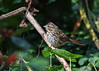 """<div class=""""jaDesc""""> <h4>Song Sparrow on Sunflower Stalk - September 16, 2017</h4> <p>We still have 2 pair of Song Sparrows hanging around.  This one landed in a spot of sunlight in our backyard.</p> </div>"""