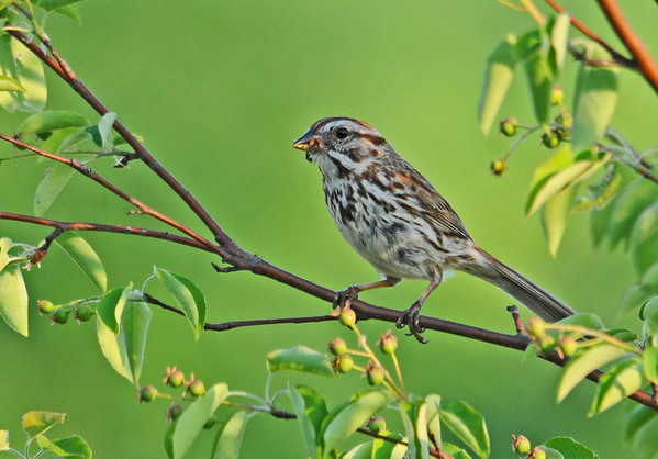 """<div class=""""jaDesc""""> <h4>Female Song Sparrow Bringing Food to Nest - June 2, 2014 </h4> <p>The female Song Sparrow has been busy bring food to the chicks while the male mainly has guarding duty.</p> </div>"""