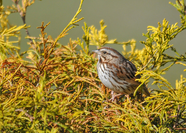 """<div class=""""jaDesc""""> <h4>Song Sparrow in Cedar Bush - April 24, 2016 </h4> <p>We are up to 3 pairs of Song Sparrows now.  They are all busy selecting nesting sites.</p> </div>"""