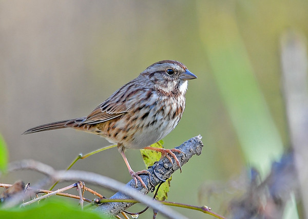 """<div class=""""jaDesc""""> <h4>Song Sparrow Migrating - November 7, 2018</h4> <p>I had to patiently wait for this Song Sparrow to pop up out of a dense thicket.  Lima, PA</p> </div>"""