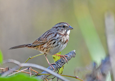 Song Sparrow Migrating - November 7, 2018 I had to patiently wait for this Song Sparrow to pop up out of a dense thicket.  Lima, PA