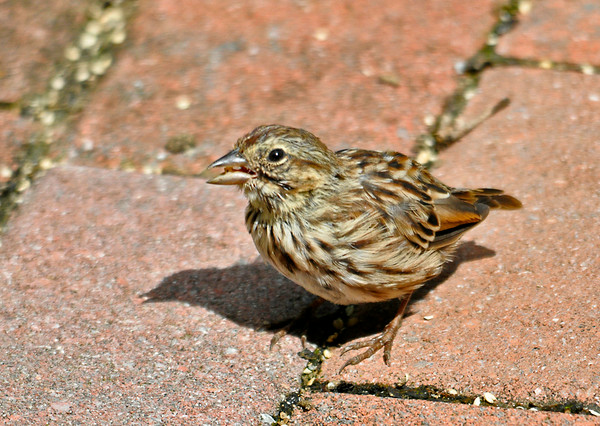 """<div class=""""jaDesc""""> <h4>Juvenile Song Sparrow  - August 15, 2014 </h4> <p>We have three juvenile Song Sparrows that are now ground feeding on their own.  They were dining on the white millet seed that our grand-daughter Camille tossed on the brick walkway for them.</p> </div>"""