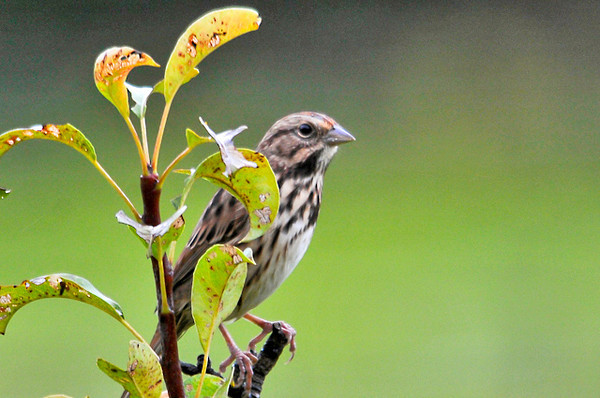 """<div class=""""jaDesc""""> <h4> Song Sparrow in Pear Tree - September 13, 2013 </h4> <p> We still have an adult pair of Song Sparrows and 2 juveniles visiting our yard.  This adult stopped to perch in the top of our pear tree on its way in to the feeders. </p> </div>"""