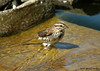 """<div class=""""jaDesc""""> <h4> Song Sparrow on Waterfall Stone - June 2005 </h4> <p> A favorite spot for many of the birds to take a bath is the waterfall stone in our water garden.  They stand in the fast running water before starting their dip and splash routine.</p> </div>"""