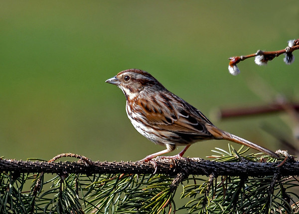 """<div class=""""jaDesc""""> <h4>Song Sparrow - First of Year - April 9, 2017</h4> <p>Four Song Sparrows arrived in the past few days.  This one stopped briefly on a spruce branch.</p> </div>"""