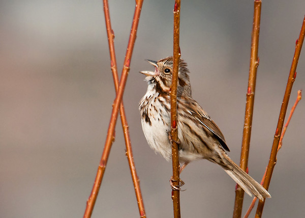 """<div class=""""jaDesc""""> <h4> Song Sparrow Calling for a Mate - March 25, 2013 - Video Attached</h4> <p> I drove up to Stewart Park today in search of migrating ducks.  The first bird I saw was this Song Sparrow singing away in a bush by the waters edge.  He was so focused on finding a girl friend that he wasn't paying much attention to me. </p> </div> <center> <a href=""""http://www.youtube.com/watch?v=AwbWzWF3FRs""""  style=""""color: #0000FF"""" class=""""lightbox""""><strong> Play Video</strong></a>"""
