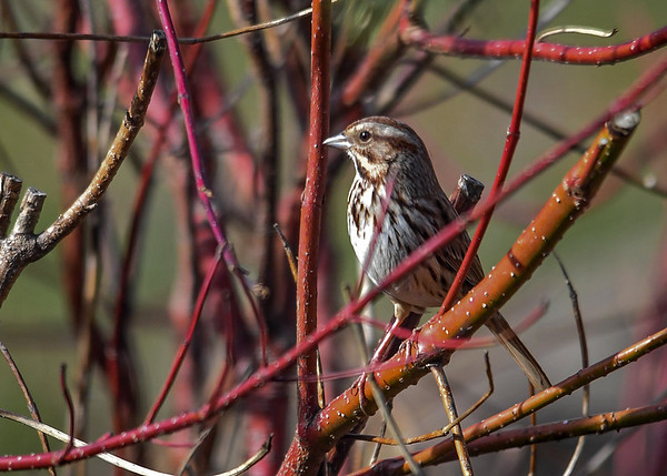 """<div class=""""jaDesc""""> <h4>Song Sparrow in Red-twig Dogwood - April 9, 2017</h4> <p>Our Red-twig Dogwood bush provides safe feeder approach cover for the song birds.</p> </div>"""