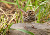 """<div class=""""jaDesc""""> <h4> Juvenile Song Sparrow Ground Feeding - August 17, 2012 </h4> <p> We have about 6 juvenile Song Sparrows that come in to ground feed all day long.  They also enjoy bathing in the shallow edges of our water garden pools.</p> </div>"""