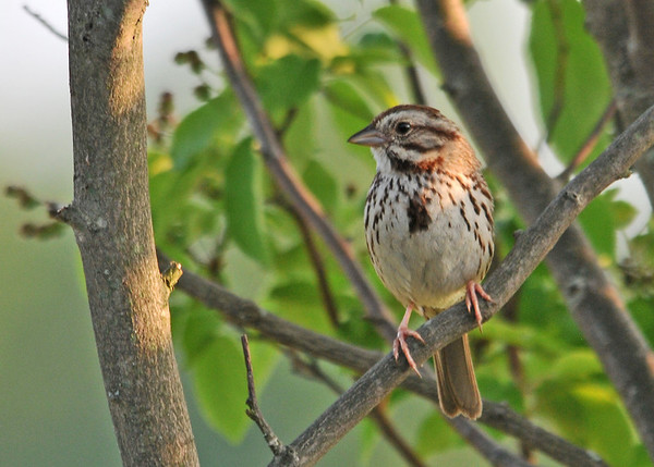 """<div class=""""jaDesc""""> <h4>Male Song Sparrow Guarding Nest - June 2, 2014 </h4> <p>There is a Song Sparrow nest in a bush between two serviceberry trees by our backyard water garden.  We finally figured that out after listening to the parents chirping incessantly for several days.  Then we watched the female taking food in under the bottom of the bush which is too dense to enter any other way.</p> </div>"""