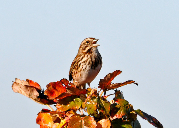 """<div class=""""jaDesc""""> <h4> Song Sparrow Singing - November 6, 2013 </h4> <p> One of the first birds I saw when I visited Bombay Hook NWR in Delaware was this Song Sparrow.  He was happily singing in the morning sun.</p> </div>"""