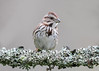 "<div class=""jaDesc""> <h4>Song Sparrow on Lichen Covered Branch - May 6, 2017</h4> <p>I don't usually get a photo of a Song Sparrow in the woods, but this one landed on a decorative branch right in front of me.</p> </div>"