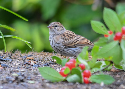 Juvenile Song Sparrow Having Breakfast - August 2, 2018 This juvenile Song Sparrow was eating at the seed table with no other birds to bother her.
