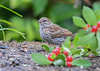 "<div class=""jaDesc""> <h4>Juvenile Song Sparrow Having Breakfast - August 2, 2018</h4> <p>This juvenile Song Sparrow was eating at the seed table with no other birds to bother her.</p> </div>"