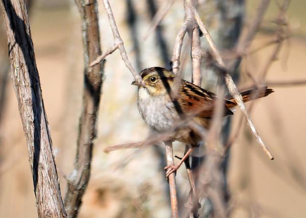 "<div class=""jaDesc""> <h4>Swamp Sparrow Among the Branches - October 19, 2015 </h4> <p> Montezuma NWR</p> </div>"