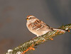 """<div class=""""jaDesc""""> <h4> Tree Sparrow on Evergreen Branch - January 15, 2011 </h4> <p>  We now have 12 Tree Sparrows, normally we only have 2 or 4. They spend a lot of time chasing each other around.</p> </div>"""