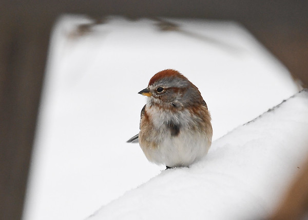 """<div class=""""jaDesc""""> <h4>Tree Sparrow in Nasty Weather - January 5, 2018</h4> <p>Seems like the Tree Sparrows show up when the weather gets super cold.  This one was resting after sparring with a lot of Juncos for feeding space.</p> </div>"""