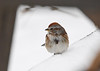 "<div class=""jaDesc""> <h4>Tree Sparrow in Nasty Weather - January 5, 2018</h4> <p>Seems like the Tree Sparrows show up when the weather gets super cold.  This one was resting after sparring with a lot of Juncos for feeding space.</p> </div>"