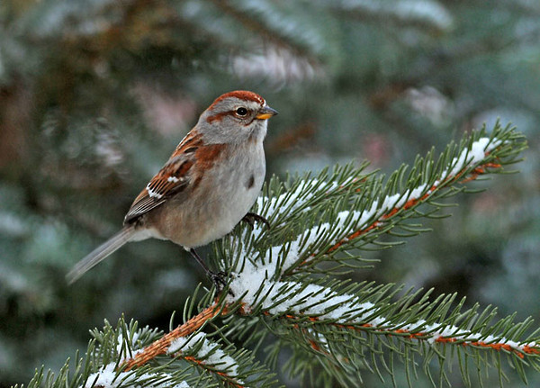 """<div class=""""jaDesc""""> <h4> Tree Sparrow on Norway Spruce Branch - February 11, 2012 </h4> <p>  When it started to snow and blow hard this afternoon, lots of birds flew in for a quick snack to warm up. This Tree Sparrow was one of the first to arrive. We still have 8 regular Tree Sparrow visitors.</p> </div>"""