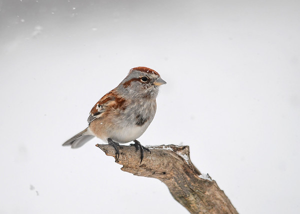 """<div class=""""jaDesc""""> <h4>Tree Sparrow in Snow Storm - December 9, 2016</h4> <p>Heavy snowfall always brings our 4 Tree Sparrows into the feeder areas.</p> </div>"""