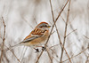 """<div class=""""jaDesc""""> <h4> Tree Sparrow Side View - January 11, 2013 </h4> <p>  I enjoy the rich browns, tans and grays in the Tree Sparrow's plumage.  We have 6 regulars hanging around all day long. </p> </div>"""