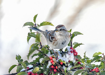 Tree Sparrow Front View - January 30, 2021