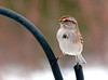 """<div class=""""jaDesc""""> <h4> Tree Sparrow Straddling - January 27, 2011 </h4> <p>  We still have 6 Tree Sparrows as regulars, but it won't be too long before they all head North. This has been a banner year for them at our place with as many as 12 regulars.</p> </div>"""