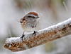 "<div class=""jaDesc""> <h4> Tree Sparrow in Snow Storm - December 10, 2014 </h4> <p>This little Tree Sparrow was getting pummeled by icy snow, but it did not seem to bother her.</p> </div>"