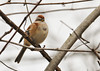 """<div class=""""jaDesc""""> <h4> Tree Sparrow in Thicket - November 9, 2012 </h4> <p>  I was walking along Towpath Road at the Montezuma Wildlife Refuge when a flock of small birds zoomed across in front of me and spread out along the thickets.  I was delighted to see my first Tree Sparrows this fall.  The morning sun was highlighting this one's colors nicely.  They seem to be a bit early this year; normally I don't see them until mid to late December.  </p> </div>"""