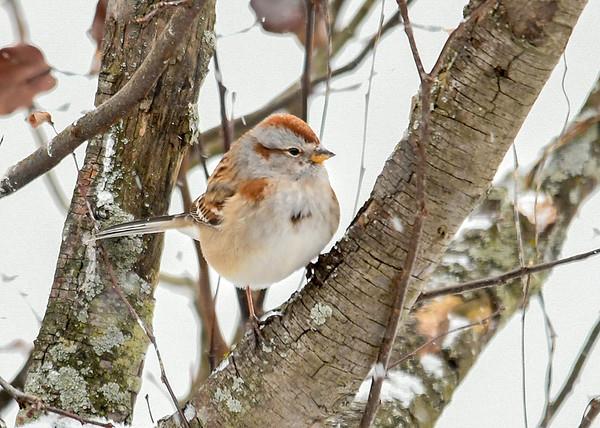 "<div class=""jaDesc""> <h4>Tree Sparrow in Tree - January 18, 2018</h4> <p></p> </div>"