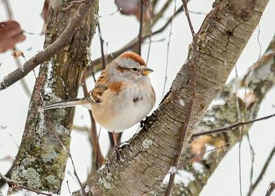 Tree Sparrow in Tree - January 18, 2018