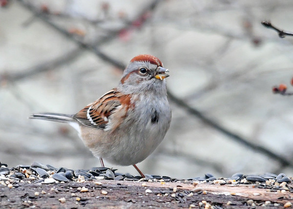 """<div class=""""jaDesc""""> <h4>Tree Sparrow Snacking on Sunflower Seeds - January 7, 2018</h4> <p>Notice the lighter colored lower bill.</p> </div>"""