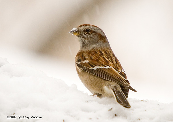 """<div class=""""jaDesc""""> <h4>American Tree Sparrow in Snow - December 13, 2007 </h4> <p>  We have had one of these American Tree Sparrows here for about 3 weeks.  This is the first opportunity it has given me for a photo.  Guess today's snow storm slowed it down a bit.</p> </div>"""
