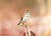 """<div class=""""jaDesc""""> <h4>Tree Sparrow on Seed Head - March 7, 2008 </h4> <p>  I have been hoping that a bird would land on this viburnum seed head for quite some time.  Yesterday I was very pleased when this Tree Sparrow landed on it for a few seconds.</p> </div>"""